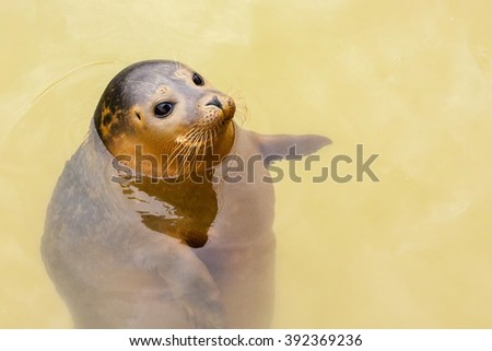 An adult common or harbour (harbor) seal (Phoca vitulina) buoyant in water and appearing to point to its left, across to the right hand side of the frame. - stock photo