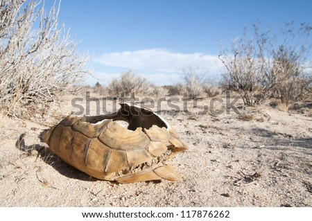 An adult federally threatened desert tortoise shell in the desert.  This tortoise was eaten by a coyote. - stock photo