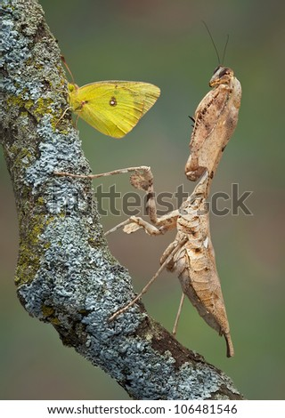 An adult female dead leaf mantis has stumbled across a butterfly. - stock photo