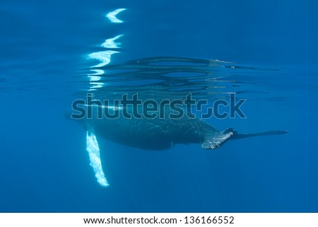 An adult female Humpback whale (Megaptera novaeangliae) surfaces in the Caribbean Sea to breathe.  Humpbacks in the Atlantic migrate from the New England area to the Caribbean to breed and give birth.