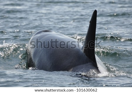 An adult female orca surfaces, displacing the water around her. - stock photo
