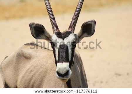 An adult female Oryx (Gemsbuck) antelope.  Photo taken on a game ranch in Namibia, Africa. - stock photo
