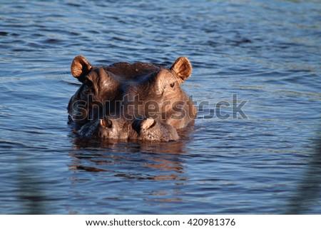 An adult hippopotamus swimming in the Zambezi River, the border between Zimbabwe and Zambia, Africa. - stock photo