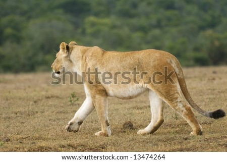 An Adult Lioness walks past the photographer at the start of a hunt - stock photo