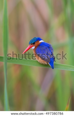 An adult Malachite Kingfisher (Corythornis cristatus) resting on a reed leaf, against a blurred natural background, Wilderness, South Africa