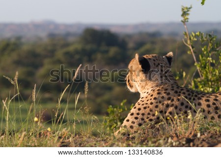 An adult male cheetah staring out over its territory in Botswana - stock photo