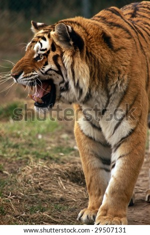 An adult male Siberian / Amur tiger (Panthera tigris altaica) hisses at a passing female