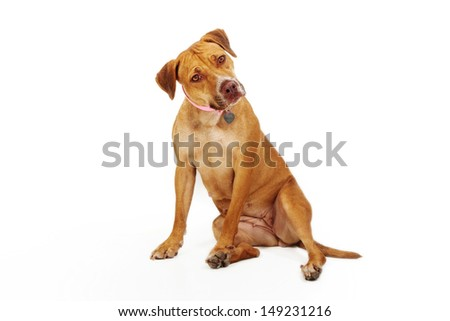 An adult mixed breed dog sitting against a white background looking at the camera and tilting her head