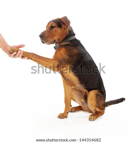 An adult mixed large breed dog shaking hands with a person