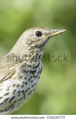 an adult of song thrush in natural habitat / Turdus philomelos  - stock photo