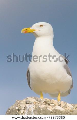 an adult of yellow legged-gull / Larus cachinnans - stock photo