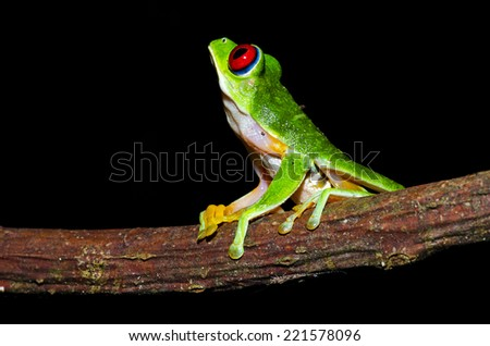 An adult red eyed treefrog looks up during the night in search for a meal in the jungle of Costa Rica - stock photo