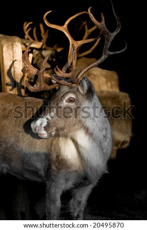 an adult reindeer from swedish lapland - stock photo