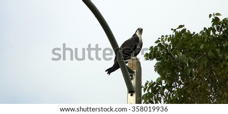 An adult sea eagle or osprey looking down at viewer from top of light pole in Naples, Florida, showing tree top and copy space in sky. - stock photo