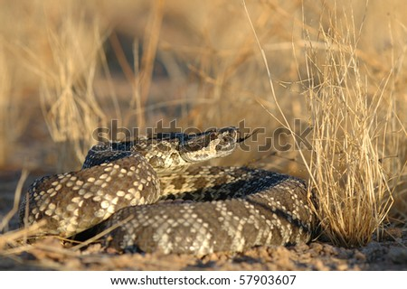 An adult southern pacific rattlesnake from southern California. - stock photo