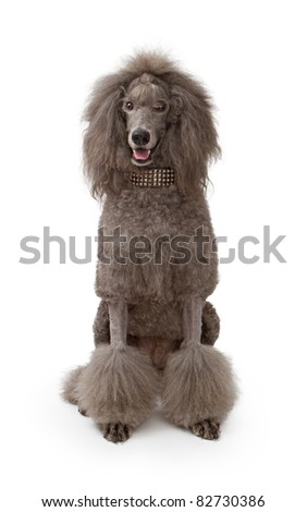 Sale adult poodle