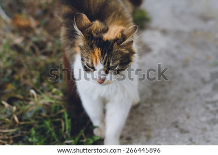 An Adult Tabby Cat Outdoors  - stock photo