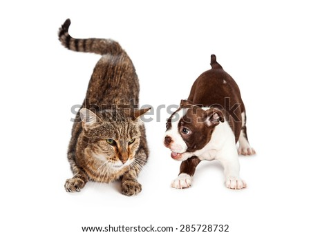An adult tabby with an angry expression laying next to a playful little Boston Terrier puppy - stock photo