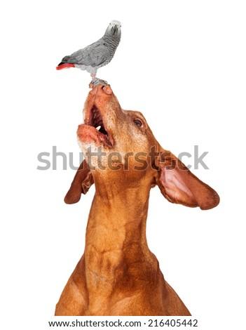 An adult Vizsla dog looking up at perching bird  atop nose.  - stock photo