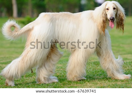 An afghan hound dog walking on the lawn - stock photo