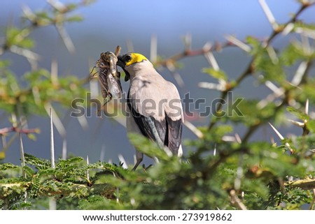An african bird known as wattled starling, Creatophora cinerea, on an acacia tree with a grasshopper in the beak in Serengeti National Park, Tanzania - stock photo