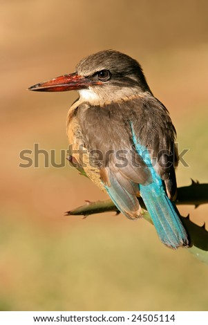An African brown-hooded Kingfisher (Halcyon albiventris), South Africa - stock photo