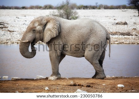 An African Bull Elephant by a waterhole in Etosha National Park, Namibia.