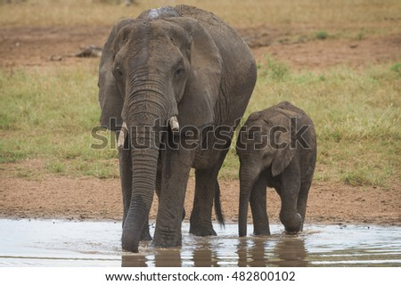 An African bush elephant cow (Loxodonta africana) drinking from a waterhole in the Kruger National Park, South Africa with her calf