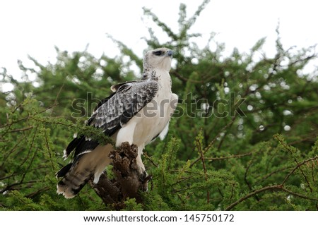 An African Eagle perched on an acacia tree. - stock photo