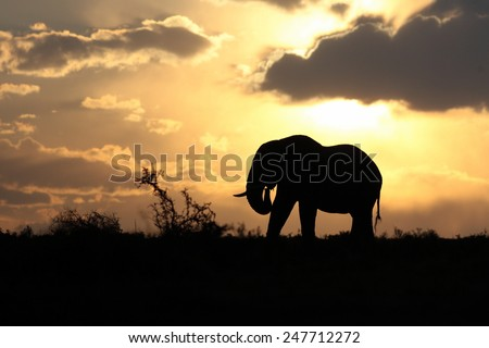 An African elephant against a perfect South African sunset sky. - stock photo