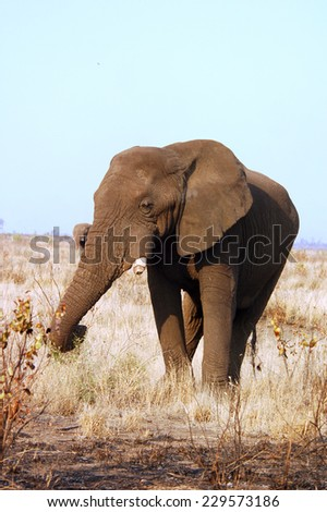 An African Elephant Bull in the Kruger National Park, South Africa. - stock photo
