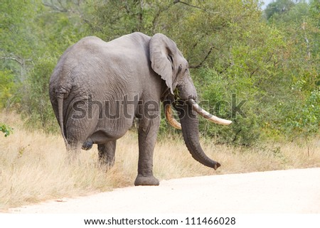 An African elephant bull with massive tusks walking next to the road