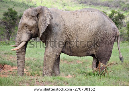 An African Elephant covers itself in mud in a water hole in a game reserve. - stock photo