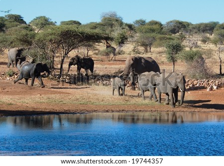 An African Elephant family at the water hole near Timbavati. - stock photo
