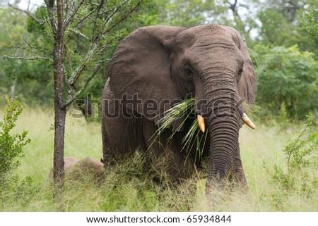 An african elephant feeding on grass - stock photo