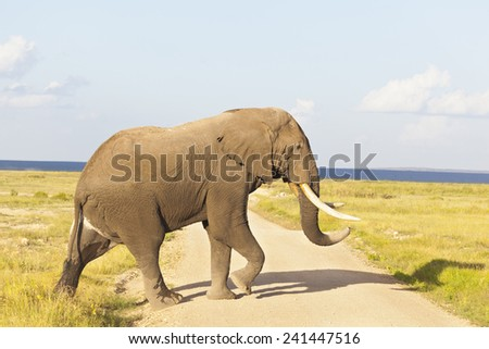 An African Elephant in Amboseli National Park in Kenya crossing a dirt road.