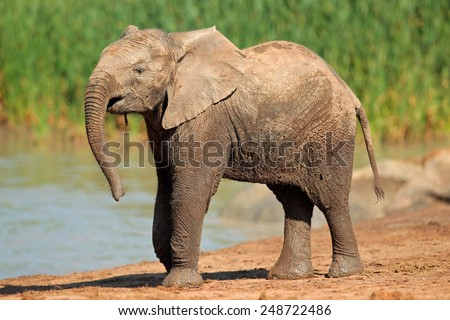 An African elephant (Loxodonta africana) at a waterhole, Addo Elephant National Park, South Africa  - stock photo