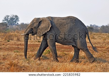An African Elephant (Loxodonta africana) in the Kruger Park, South Africa.