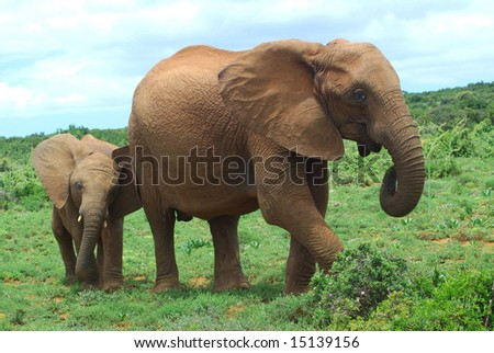 An African elephant mom walking together with her cute little baby in the bushland of the Addo Elephant park in South Africa - stock photo
