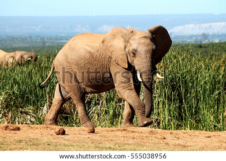 An african elephant on his way to the waterhole at Addo Elephant National Park, South Africa