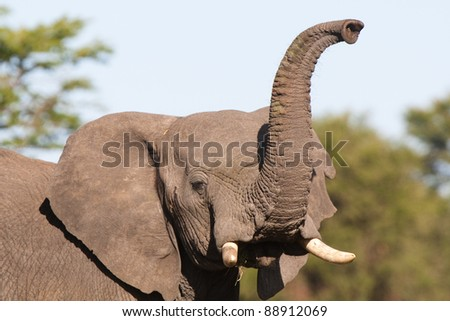 An African elephant raising its trunk to smell - stock photo