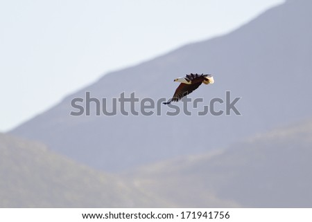 An African Fish Eagle (Haliaeetus vocifer) in flight with blurred mountain background, Cape Town, South Africa - stock photo