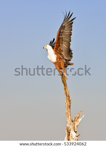 An African fish eagle (Haliaeetus vocifer) perched on a dead tree is about to take off on the Chobe river between Namibia and Botswana