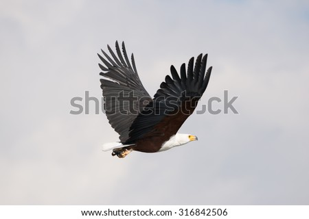 An African fish eagle with yellow beak, white neck, brown body and brown and black wings is flying from left to right with its wings raised. In the background is a hazy sky with some streaks of blue. - stock photo