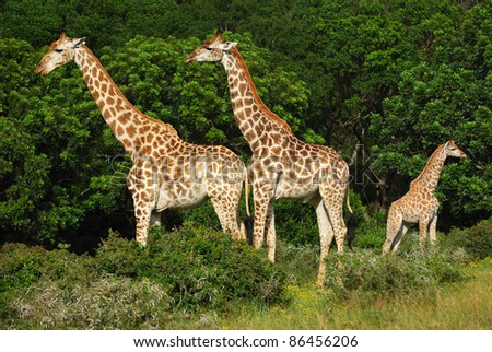 An African giraffe family in the green bushes of a game park in South Africa.