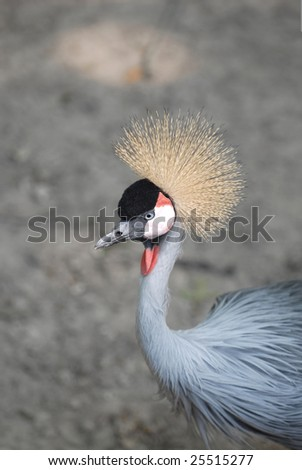 An African grey crowned crane is a very unique looking bird.