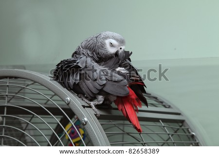 An African Grey Parrot sitting on top of his cage preening his wing feathers. - stock photo