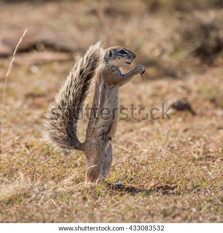 An African ground Squirrel stands upright as it feeds in grassland in Southern Africa