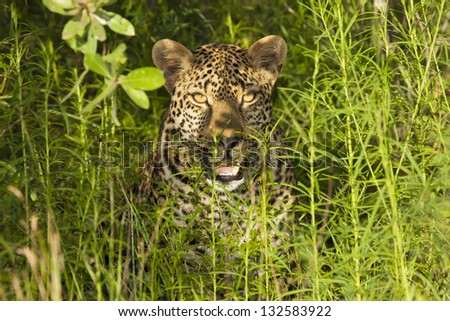 An African Leopard (One of the African Big Five) Giving an Intimidating Look from it's Natural Habitat in the Thickets of the Kruger National Park in South Africa. - stock photo