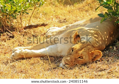 An African Lion (Panthera leo) on the Masai Mara National Reserve safari in southwestern Kenya. - stock photo